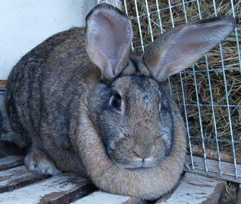 Кролик на мясо