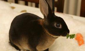 Особенности кроликов породы рекс: уход и разведение