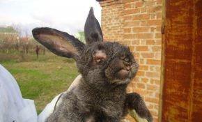 Лечение миксоматоза: симптоматика, методы предостережения кроликов