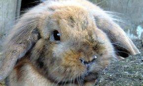 Как можно лечить насморк (ринит) у кроликов