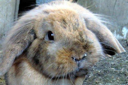 Кролик с ринитом