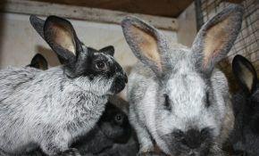 Описание новой породы серебристых кроликов