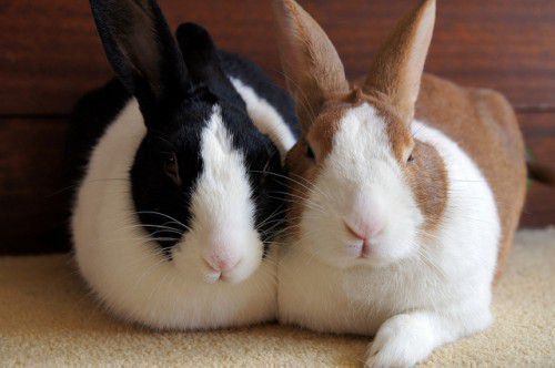 Кролик - умное животное