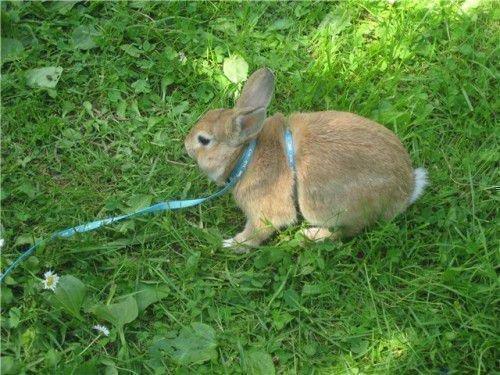 Кролик в шлейке