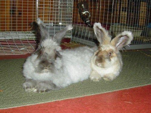 Кролик вне клетки