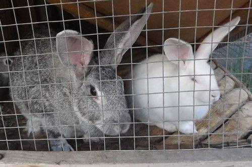 Кролики как бизнес