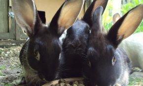 Чем и как кормить кроликов