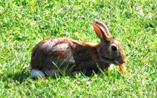 Кролики любят морковь