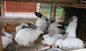 Кролики: правила разведения