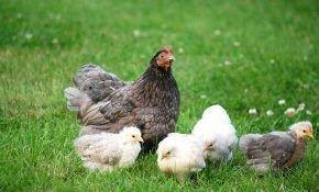 Профилактика и лечение кокцидиоза у птицы
