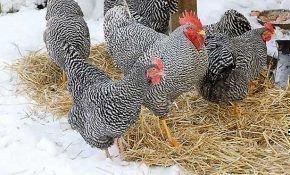 Лечение респираторного микоплазмоза у домашней птицы