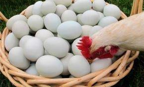 Несушки клюют свои яйца, что делать
