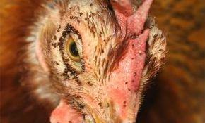 Блохи куриные: как избавить птиц от вредителей