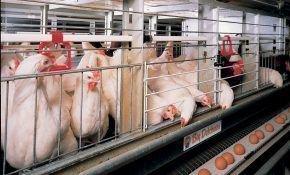 Разведение кур в домашнем клеточном содержании