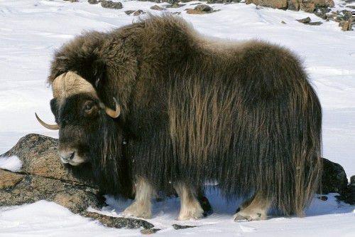 Зимой овцебык есть лишайники