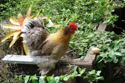Курица клюет яйцо