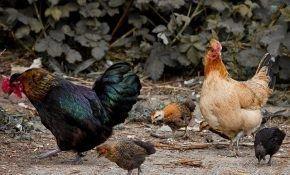 Сальмонеллез – опасность для домашних кур