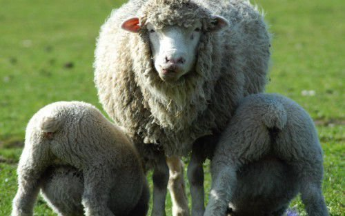 Молоко овцы