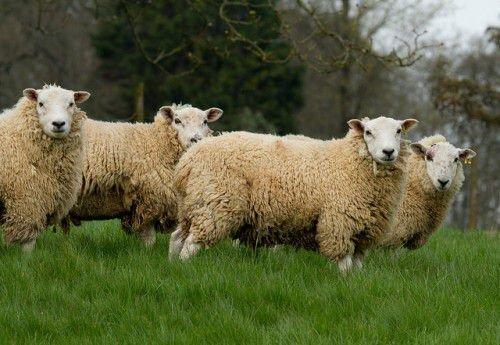 Мясные овцы