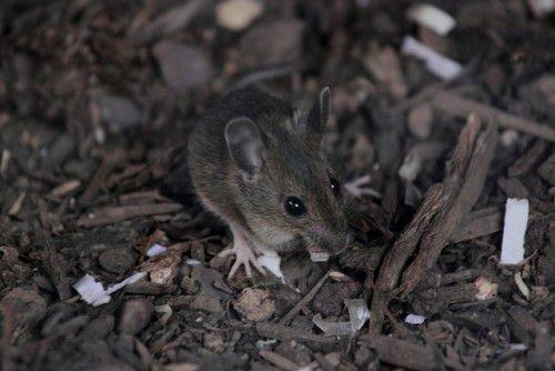 Мышь в курятнике