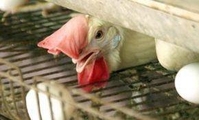 Как эффективно повысить яйценоскость домашних кур
