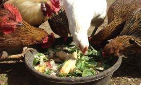 Птицеводам: можно ли кормить кур несушек чёрным или белым хлебом