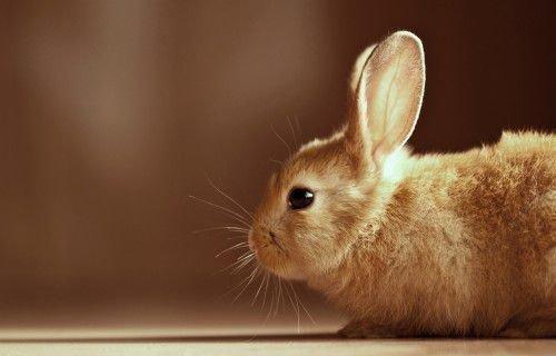 Нежные уши кролика