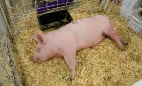 Метод разделки туши свиньи в домашних условиях