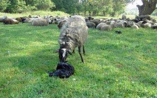 Уход за суягнутой овцой и молодняком