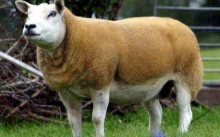 Овцы мясных пород: характеристика
