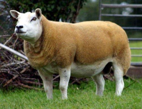 Мясная овца