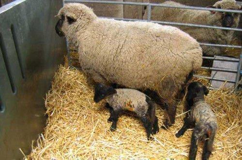 Овца с двойней