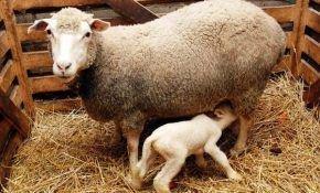 Все о беременности у овцы. Окот животного