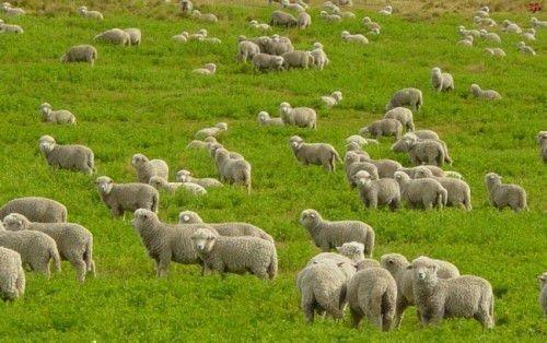 Овцы на поляне