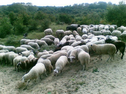 Овцеводство требует наличия знаний