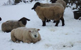 Как овцам пережить зиму