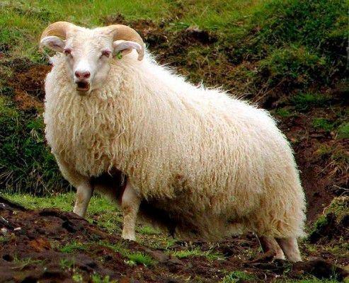 Ценуроз у молодых овец