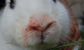 Как избавиться от пастереллеза у кроликов