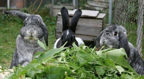 Переболевшие кролики