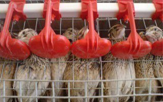 Варианты поилок для перепелиного стада: от покупных до самодельных