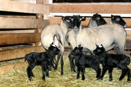 Романовские овцы плодовиты