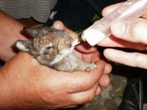 Подкармливание крольчат