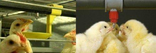 Поилки для цыплят