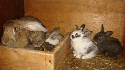 Полуторамесячные крольчата