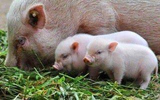 Как происходит случка у свиней