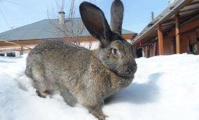 О кролике породы серый великан