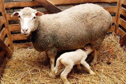 Овца прекос