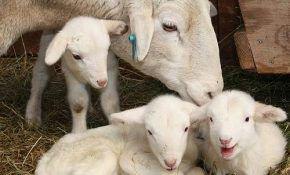 Мясо-сальная порода овец: казахские эдильбаи