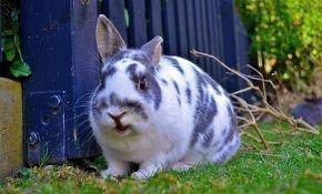 Нужно ли кастрировать кроликов и как это делать правильно