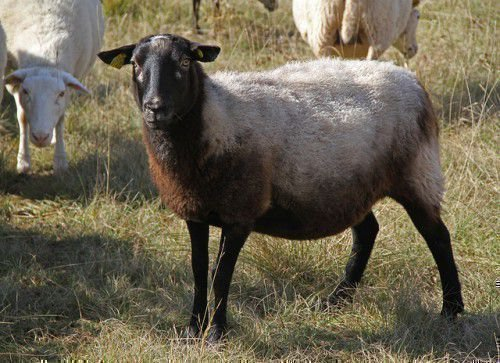 Продуктивность романовских овец